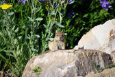 Chipmunk Observer — Stock Photo