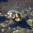 Stock Photo: Two Ducklings Napping