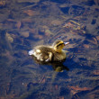 Thirsty Duckling — Stock Photo
