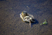 Sleepy Duckling — Stock Photo