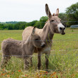 Sweet Donkeys — Stock Photo