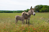 Baby and Mother Donkey — Stock Photo