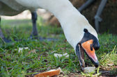 Open Beaked Swan Snacking — Stock Photo