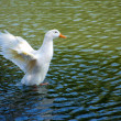 Duck Landing in Water — Stock Photo