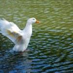 Duck Landing in Water — Stock Photo #11236295