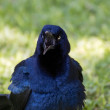 Noisy Great Tailed Grackle — Stock Photo