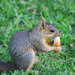 Stock Photo: Small Snacking Squirrel
