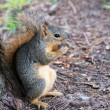 Stock Photo: Squirrel with Nut