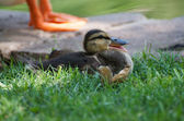 Duckling Quacking — Stock Photo