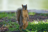 Squirrel Upright — Stockfoto