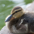 Stock Photo: Fuzzy Duckling