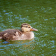 Duckling Floating — Stock Photo