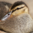 Cozy Duckling — Stock Photo