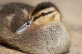 Cozy Duckling — Stock Photo