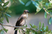 Grackle in a Tree — Stock Photo