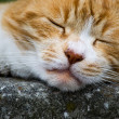 Stock Photo: Red cat sleeping