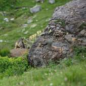 Marmots family — Stock Photo