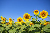Curvy sunflower field over clear blue sky — Stock Photo