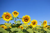 Curvy sunflowers over clear blue sky — Stock Photo