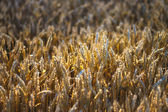 Mature wheat field detail — Stock Photo