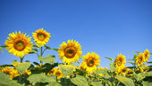 Curved sunflower field detail — Stock Photo