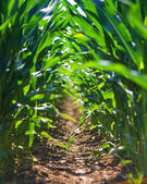 Young corn field row — Stock Photo