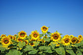 Young sunflowers — Stock Photo