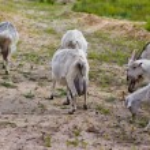 Постер, плакат: Goats graze
