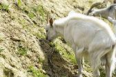 Keçi otlatmak — Stok fotoğraf
