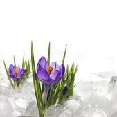 Spring crocus in ice and snow — Stock Photo