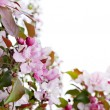 Apple spring flowers border — Stock Photo