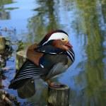 Mandarin duck — Stock Photo
