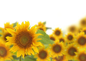 Sunflowers field on white background — Stock Photo