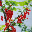 Redcurrants ripen on bush — Stock Photo #11341772