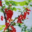 Stock Photo: Redcurrants ripen on bush