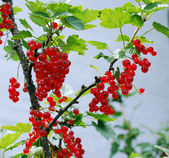 Redcurrants ripen on the bush — Stock Photo