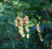 Yellowcurrants ripen on the bush — Stock Photo
