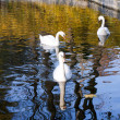 Stock Photo: Three beautiful swans swimming in pond in summer