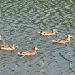 Stock Photo: Family of ducks swimming in lake