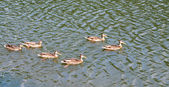 A family of ducks swimming in the lake — Stock Photo