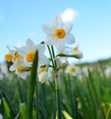 Narcissus Flower in the Maltese countyside — Stock Photo