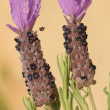 Stock Photo: Lavandulstoechas, lavender