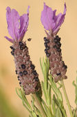 Lavandula stoechas, lavender — Stock Photo