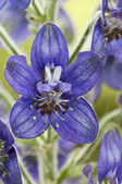 Delphinium staphisagria, Stavesacre, Purple flower green background — Foto Stock