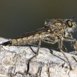 Stock Photo: Asilidae, Robber Fly, dark green background
