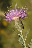 Klasea pinnatifida, purple flower on green background — Stock Photo