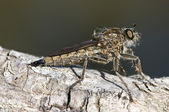 Asilidae, Robber Fly, dark green background — Stock Photo