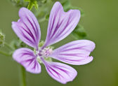 Malva sylvestris, common mallow, high mallow, blue mallow, cheese-cake — Stock Photo