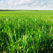 Stock Photo: Field of young wheat