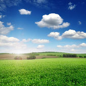 Picturesque pea field and blue sky — Stock Photo
